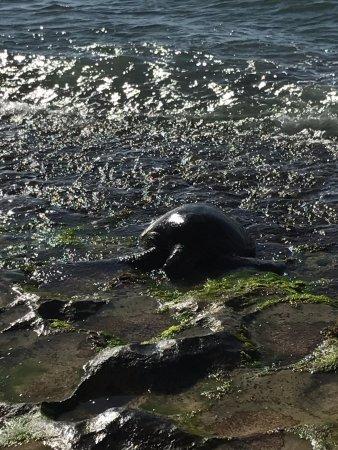 Laniakea Beach: カメさんのお食事