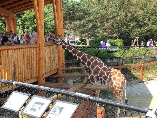 Como Park Zoo & Conservatory: Giraffe feeding. Como Zoo, Minnesota. Ketan Deshpande, MN