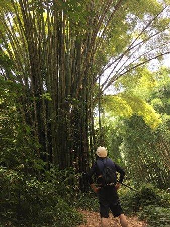 Tanama River Adventures: damn those bamboo trees are huge