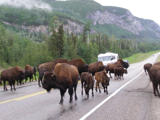 Alaska Highway: Bison in the Yukon