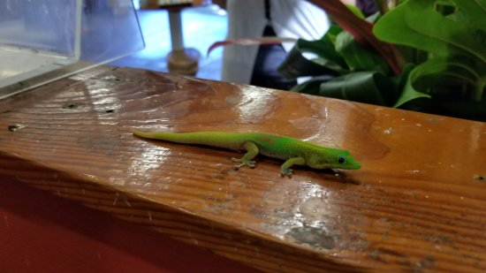 Kaneohe, HI: Found this gecko hanging out by one of the tables lol