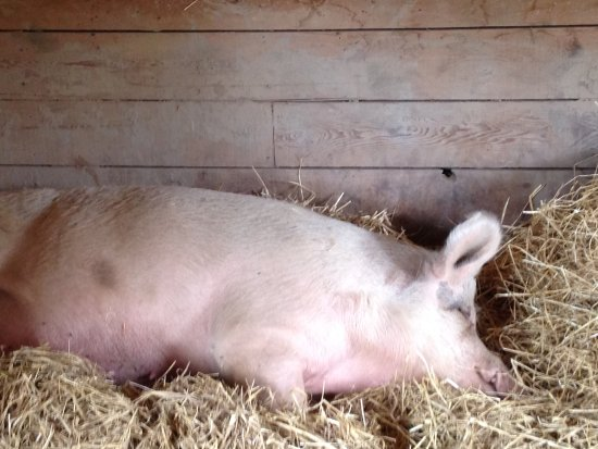 Friendly and wonderful pigs - Picture of Catskill Animal