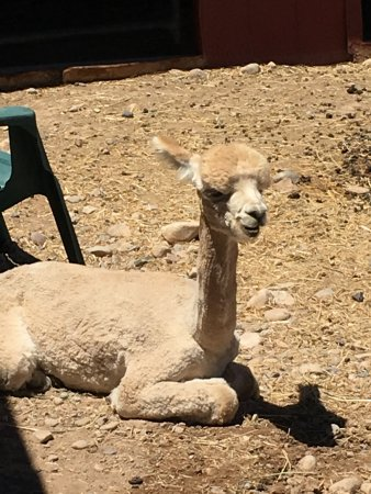 Palisade, CO: Alpaca chilling out