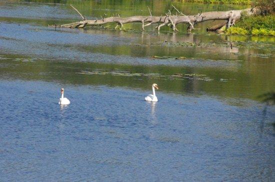Ringwood, NJ: swans on the pond