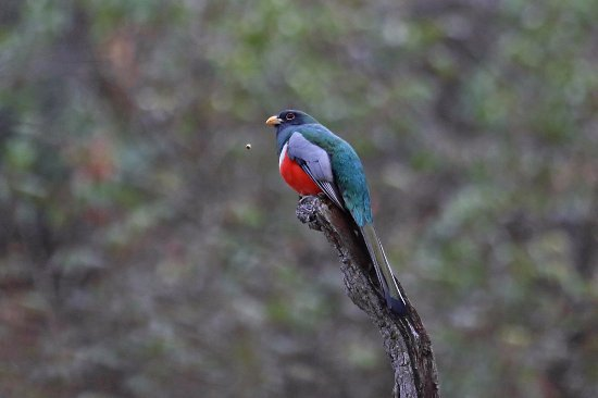 Rio Rico, Аризона: Elegant Trogon in SE Arizona
