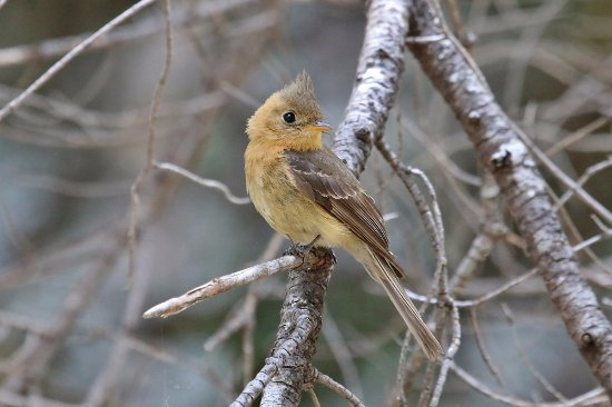 Rio Rico, AZ: Tufted Flycatcher in SE Arizona