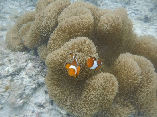 Kuro-shima Taketomi-cho, Japan: Clownfish that live at the beach and reef close to the hotel.