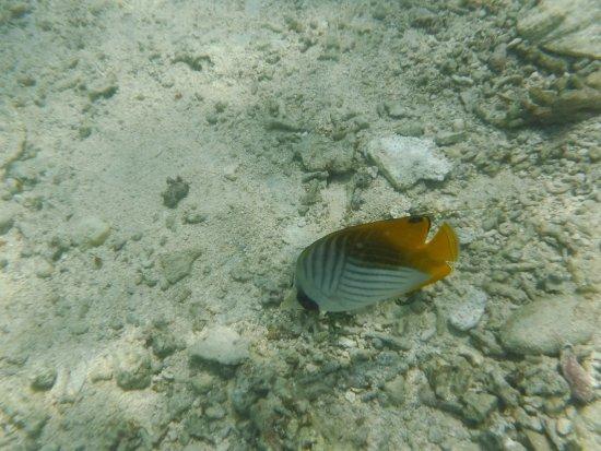 Kuro-shima Taketomi-cho, Japan: Another fish from the nearbybeach.