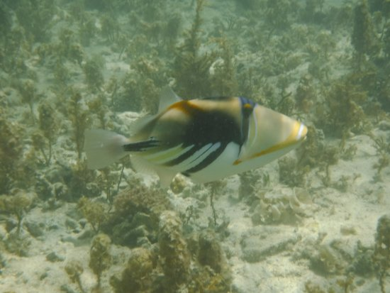 Kuro-shima Taketomi-cho, Japan: Triggerfish at the beach. They'll swim right next to you.