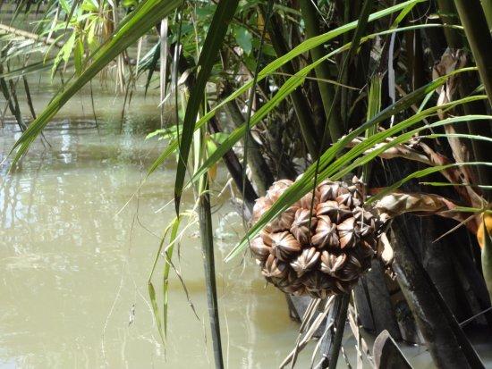Ben Tre Province, เวียดนาม: Water-coconut
