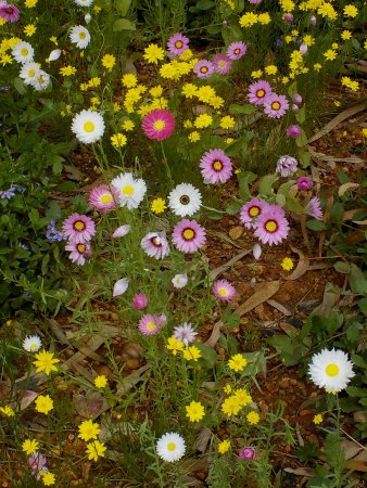 South Perth, Australia: Wildflowers