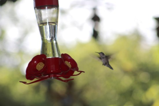 Salem, SC: Busy hummingbirds feed all day