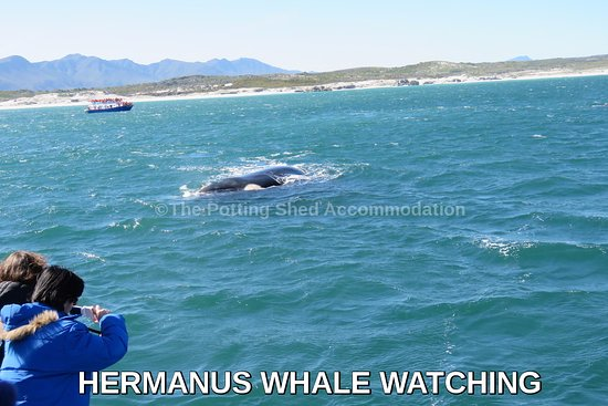 Херманус, Южная Африка: Watch whales form June to November in #Hermanus