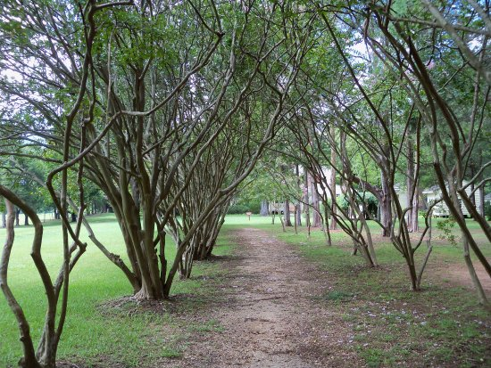 Walnut Grove Plantation : Rows of Crape Myrtle at Walnut Grove
