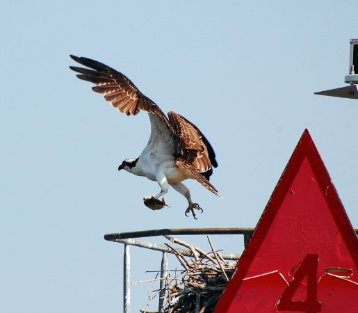 Blue Crab Chesapeake Charters: Osprey flying above the bay