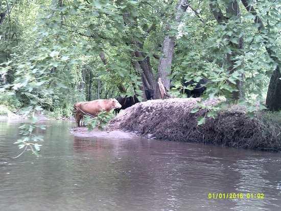 Richland Center, Висконсин: Cows grazing along the river