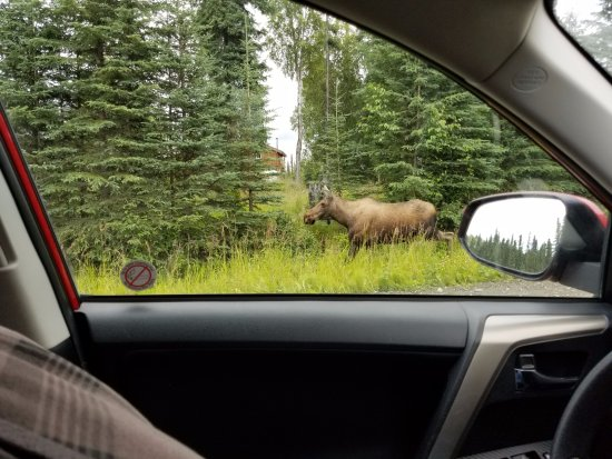 Kenai, AK: Our Moose encounter around the bend from the cabin