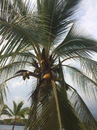 Honaunau, HI: Coconut tree