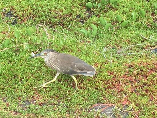Honaunau, HI: Wading bird