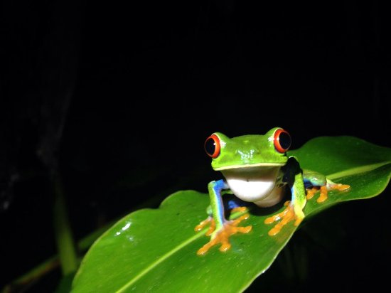 Arenal Natura Parque Ecológico: Red eyed tree frog
