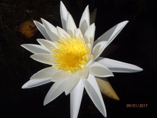 Folkston, GA: One of the very many water lillies in the swamp.