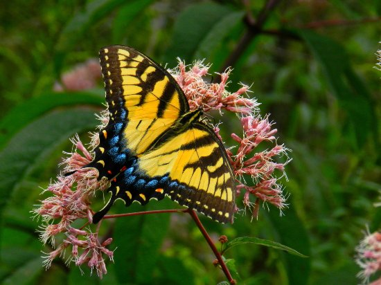 Pisgah Forest, Caroline du Nord : Butterflies were everywhere along the boardwalks