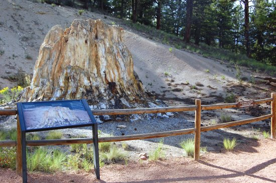 Florissant, CO: Redwood Stump With Saw Blades Still In It