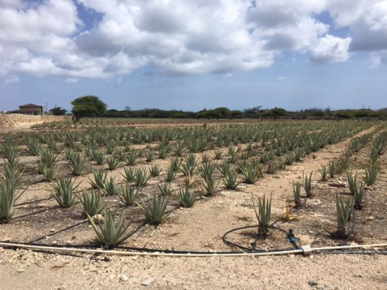 Malmok Beach, Aruba: Aloe farm and museum.