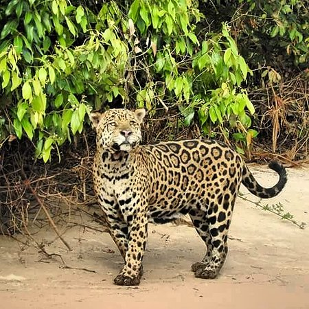 Pantanal Jaguar Expeditions