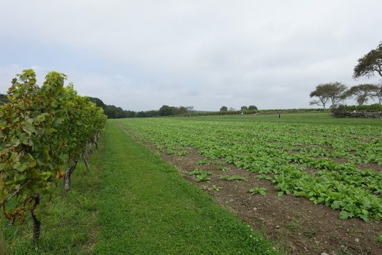 Little Compton, RI: Vineyard