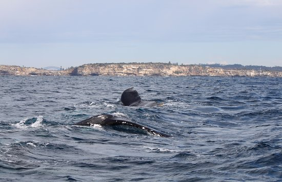 Manly Ocean Adventures: Whales swim past Sydney