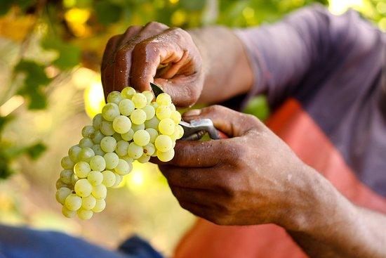 Robertson, Sudáfrica: Harvest time!