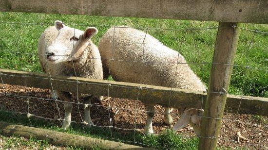 Desborough, UK: sheep