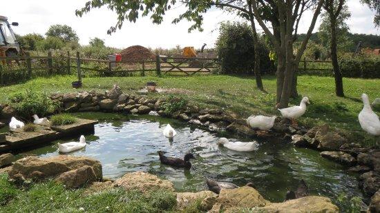 Desborough, UK: geese