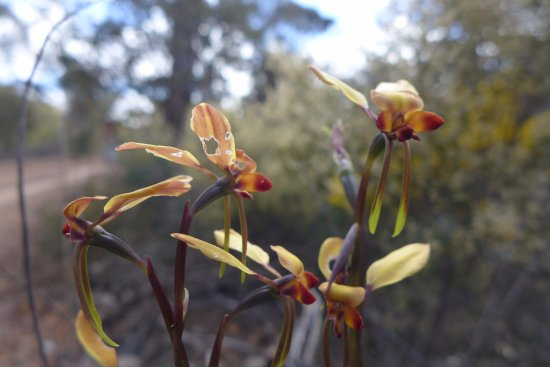 Narrogin, Avustralya: wildflower