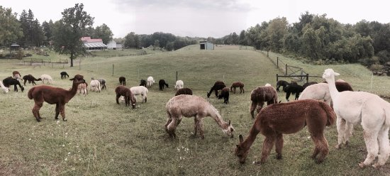 Bloomfield, État de New York : Chill alpacas