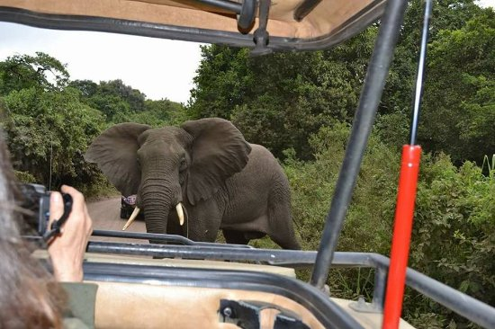 Kilimanjaro National Park, Tanzania: Female elephant crossing the road in front of our Safaris jeep at Arusha National Park.Huge elep