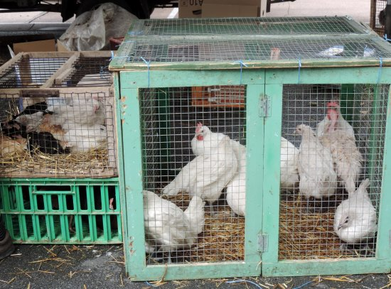 Louhans, France : live chickens