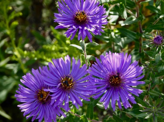 Wilmington, IL: Asters