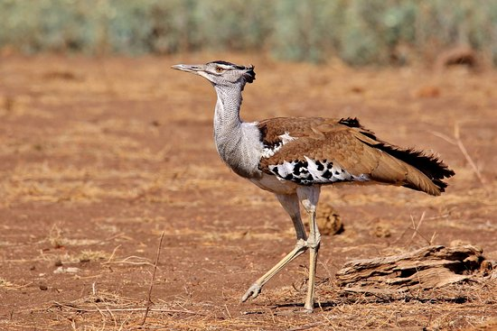 Hazyview, Sudafrica: Kori Bustard, Scientific name: Ardeotis kori (Photographed during this safari in KNP, South Afri