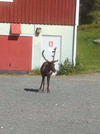 Grovelsjon, Sweden: Reindeer Stand-off to the car park toilet!!