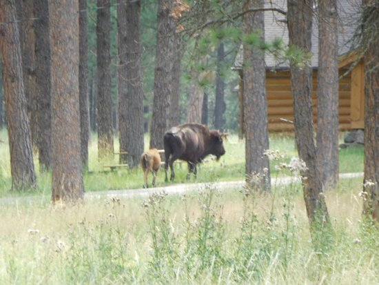 Blue Bell Lodge: Bison mom & calf passing near the cabin.