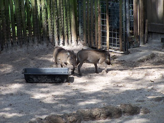 Jacksonville Zoo & Gardens: Warthogs