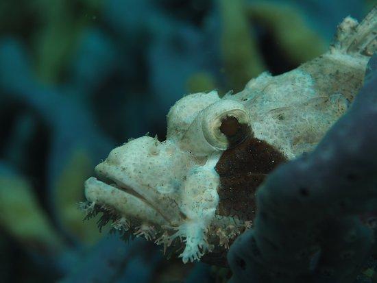 أواسيز ريزورت: Scorpionfish