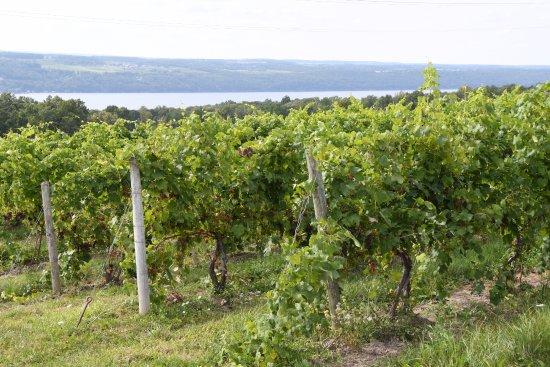 Hector, NY: Vineyards