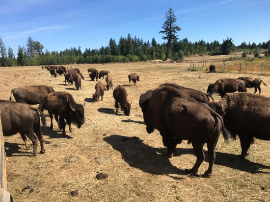 Nanaimo, Canadá: Part of the ~100 bison herd