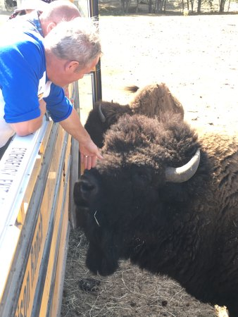 Nanaimo, Canadá: Feeding a bull with special sprout pellets