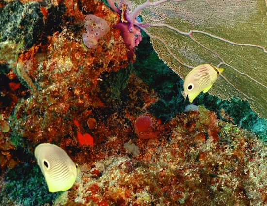 The Reef Marina: butterfly fish on the reef