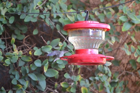The Coyote Inn: Hummingbird - many of them on the property