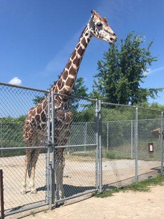 Greenville, WI: Drooling giraffe